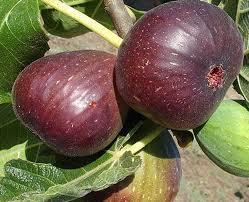 انجیر میوهای که در قرآن به نیکی از آن یاد شده/ خواص انجیر در سلامت انسان